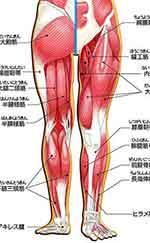 画像図解:腰~脚の主な筋肉・他組織